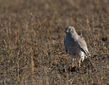 Northern Harrier with Prey, Donnelly Training Area, Ft. Greely, Alaska