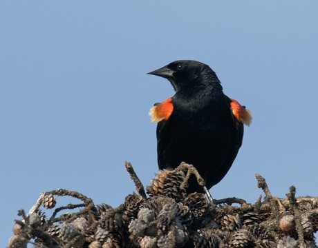 Red-winged Blackbird Male, Peat Ponds, Fairbanks