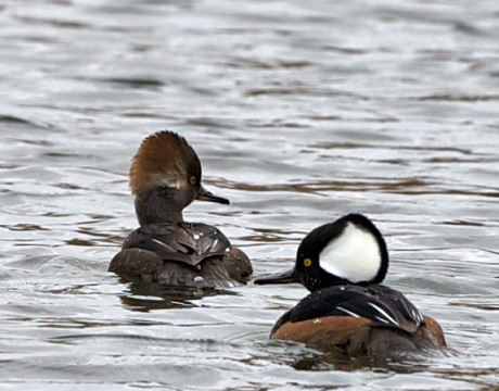 Hooded Merganser, Sitka, Alaska