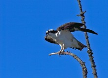 Osprey, Chena Lakes Flood Control, North Pole