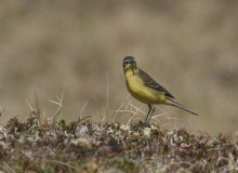 Yellow Wagtail, Chevak, Alaska