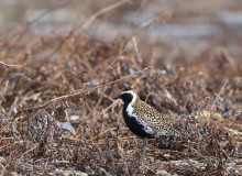 Pacific Golden Plover, Gambell, St. Lawrence Island