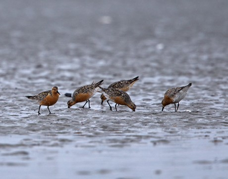 Red Knots, Egg Islands, Cordova, Alaska