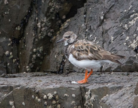 Ruddy Turnstone, St. Paul Island, Pribilof Islands, Alaska