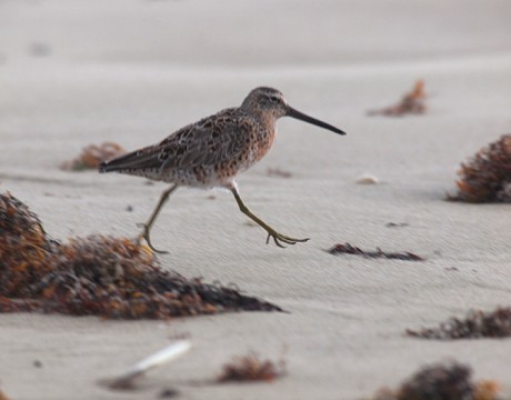 Short-billed Dowitcher, Yakutat Forelands