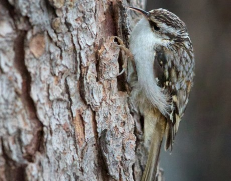 Brown Creeper, Cordova