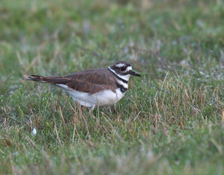 Killdeer, Airport Ponds, Fairbanks