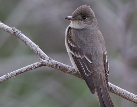 Western Wood-Pewee, Creamer's Refuge, Fairbanks