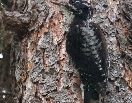 American Three-toed Woodpecker, Upper Chena River Valley