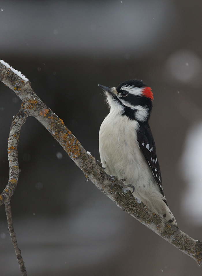 Downy Woodpecker Male, Fairbanks
