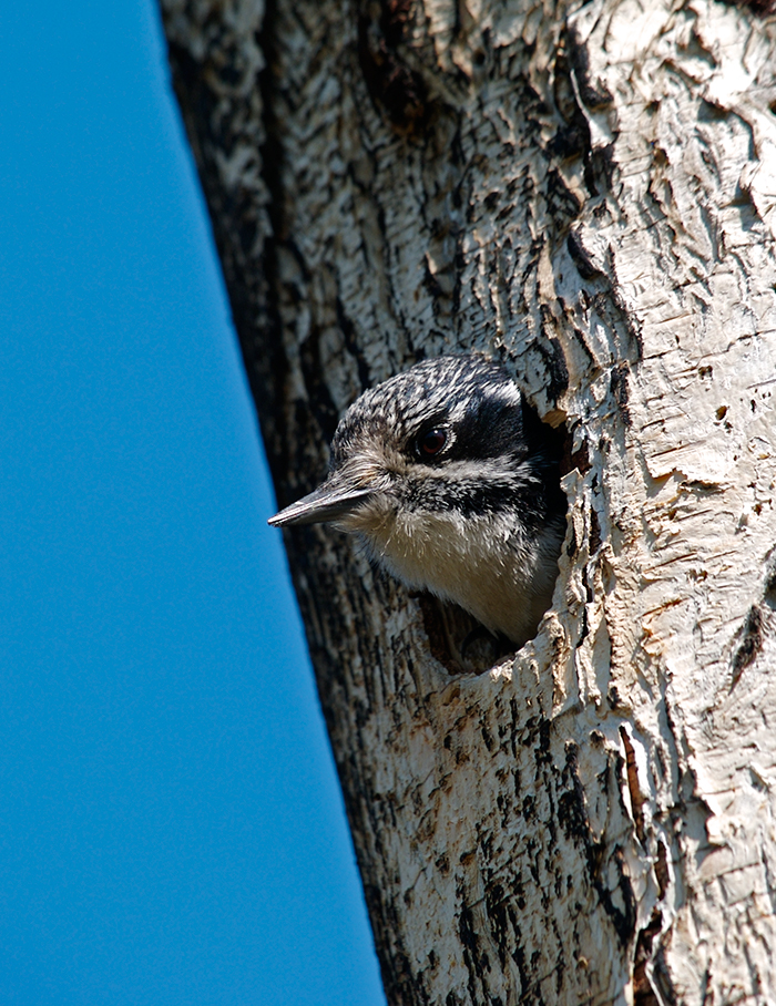 Downy Woodpecker Female in a nest cavity (photo by Mrs. WC)
