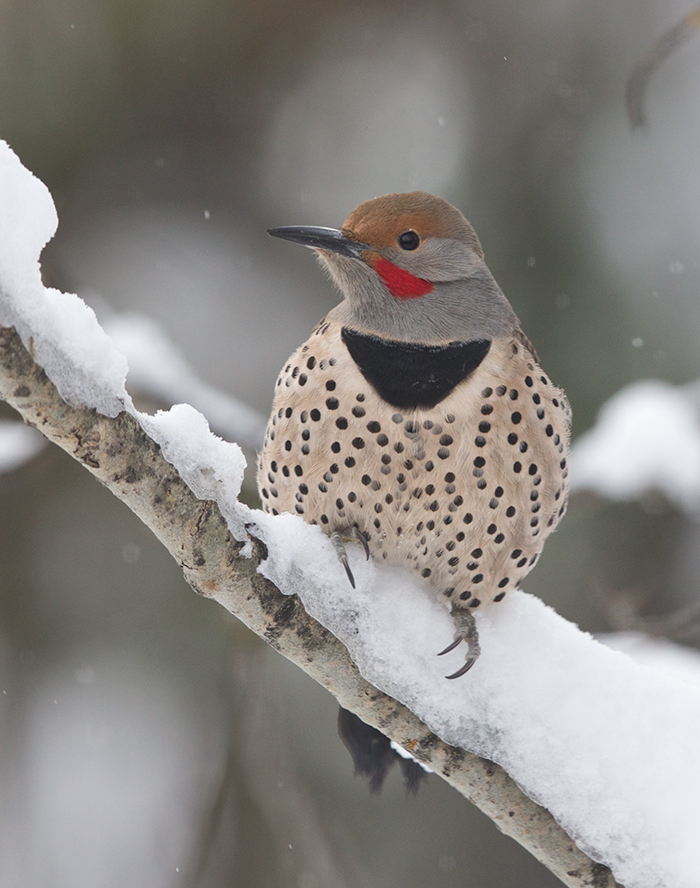 Northern Flicker, McCall, Idaho