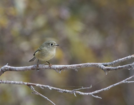 Ruby-crowned Kinglet, Creamer's Refuge, Fairbanks