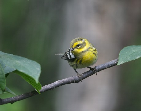 Townsend's Warbler, University Arboretum, Fairbanks