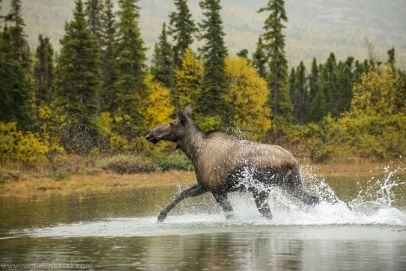 cow moose, lake clark