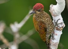 Red-stained Woodpecker, Ecuadorian Amzon