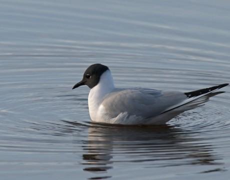 Bonaparte's Gull, Adult Breeding Plumage