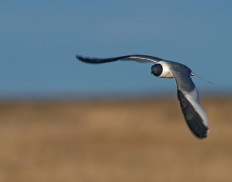 Sabine's Gull in Flight, Yukon Delta National Wildlife Refuge