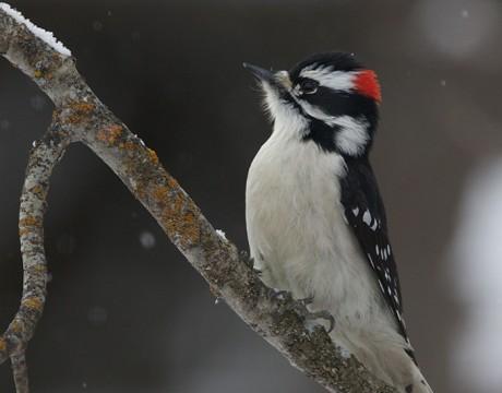 Downy Woodpecker Male, Fairbanks