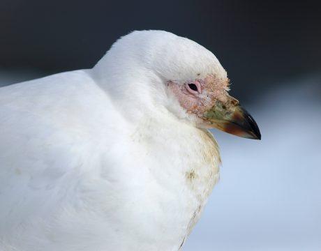 Snowy Sheathbill Portrait, South Georgia Island, Southern Ocean