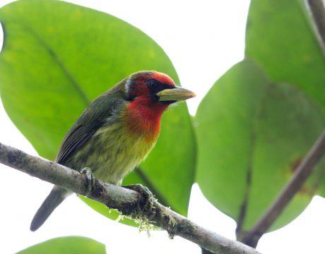 Red-headed Barbet, Ecuador