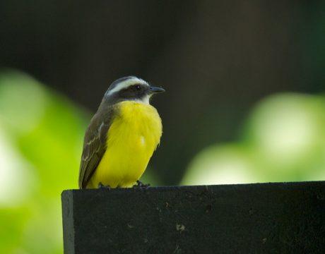 White-ringed Flycatcher, Costa Rica
