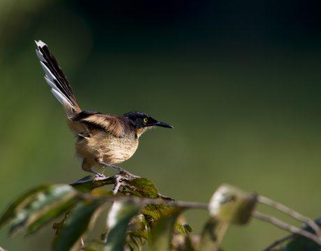 Black-capped Donacobius, Eatern Peru