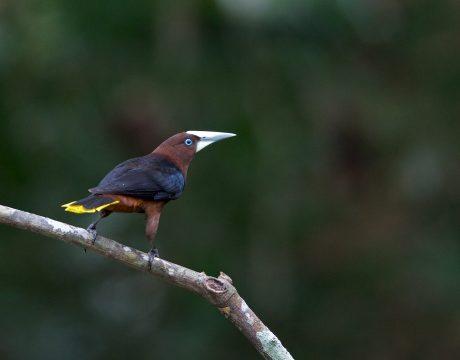 Chestnut-headed Oropendola, Darièn Province, Panama