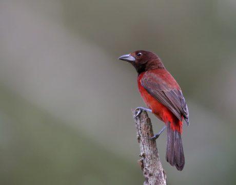 Female Crimson-backed Tanager, Darien Province, Panama