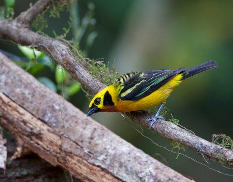 Golden Tanager, Peru