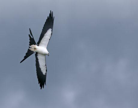 Swallow-tailed Kite, Ecuador
