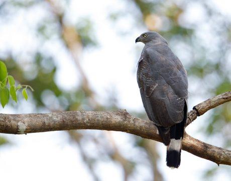 Crane Hawk, Pantanal, Brazil