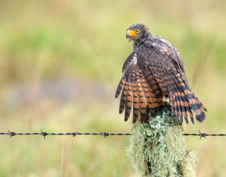 Roadside Hawk, Panama