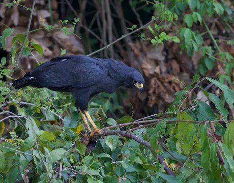 Great Black Hawk, Rio Madre de Dios, Peru