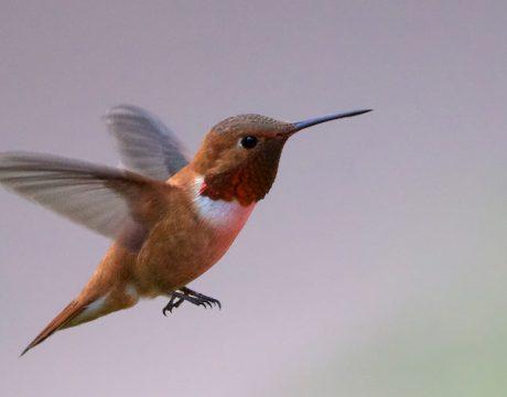 Rufous Hummingbird, Sawtooth NRA, Idaho