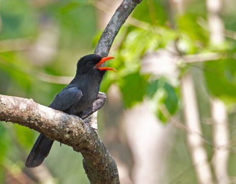 Black-faced Nunbird, Eastern Peru