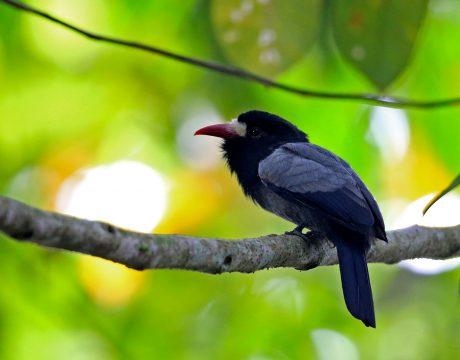 White-fronted Nunbird, Ecuador