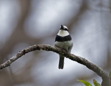 White-necked Puffbird, Panama