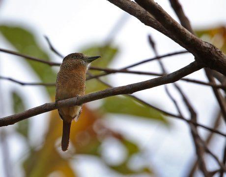 Barred Puffbird, Darién Province, Panama