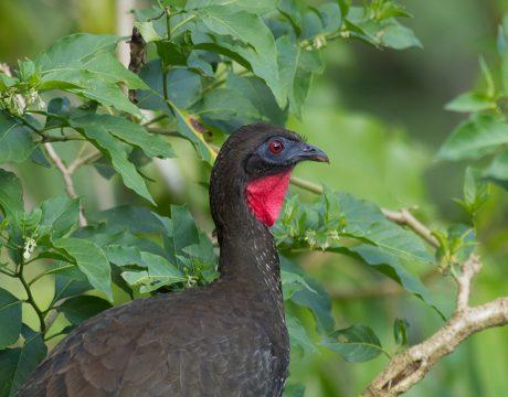 Crested Guan, Costa Rica