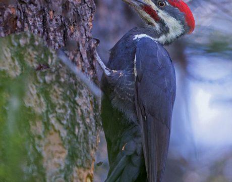 Pileated Woodpecker, McCall, Idaho