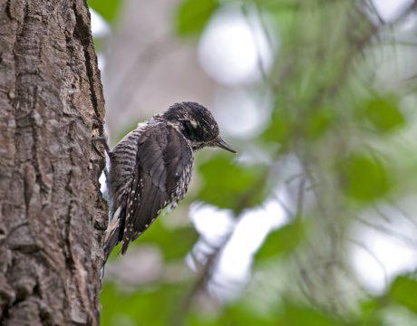 Females Black-backed Woodpecker, Alaska