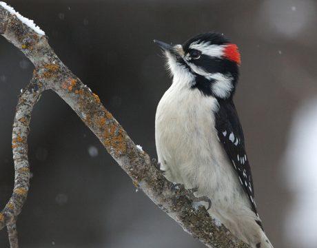 Male Downy Woodpecker, McCall, Idaho